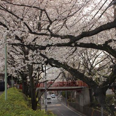 بالصور: دعوة إلى الحلم الياباني مع تفتح ازهار ساكورا